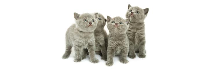 La vaccination chez les chats