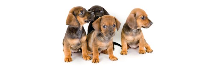 La vaccination chez les chiens